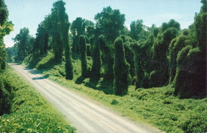 KUDZU ALONG THE HIGHWAY . . . An oriental legume, whose runners grow from 20 to 50 feet in a single season, has been used in Mississippi since 1936 to prevent erosion. In addition, Kudzu's large dark green leaves make a picturesque covereing for rough roadbanks and hillsides along Mississippi's paved highways.
